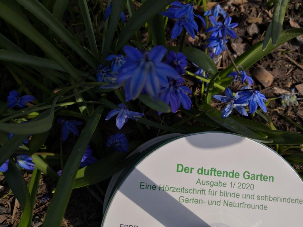 Eine Daisy-CD liegt im Beet umgeben von blauen Scillas